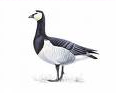 Barnacle goose by bird artist Mike Langman (rspb-images.com)